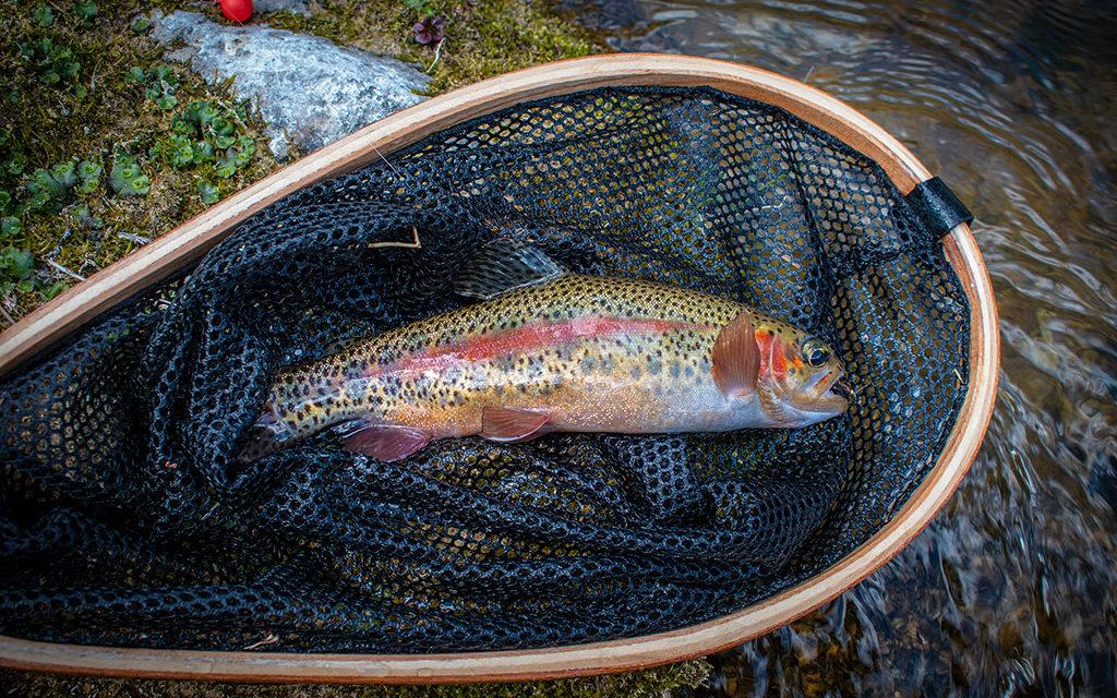 Rainbow Trout – Spearfish Creek