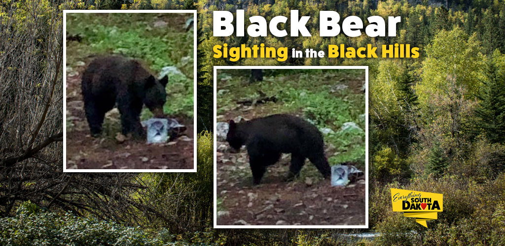 Black Bear sighting in the Black Hills