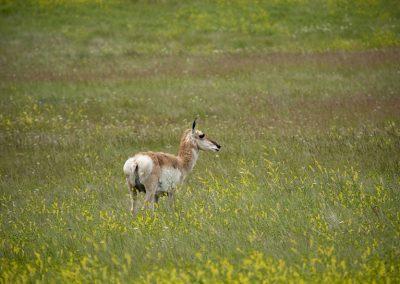 antelope-clover-web
