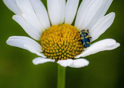 banded-longhorn-beetle-web