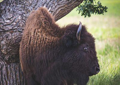 bison-scratch