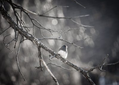 black-capped-chickadee-web