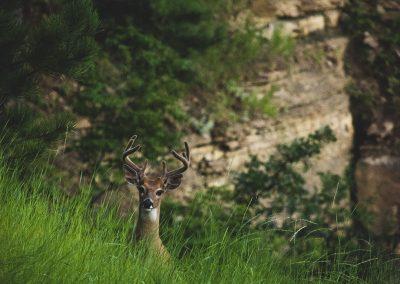 buck-deer