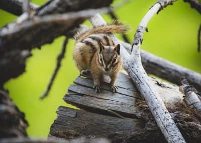 chipmunk-img2-web