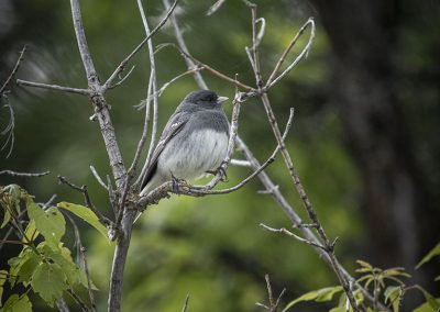 dark-eyed-junco-img1-web