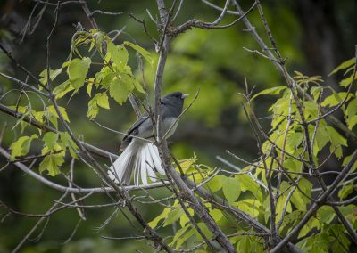 dark-eyed-junco-web