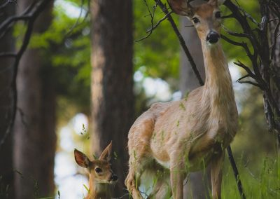 deer-mom-and-baby-web