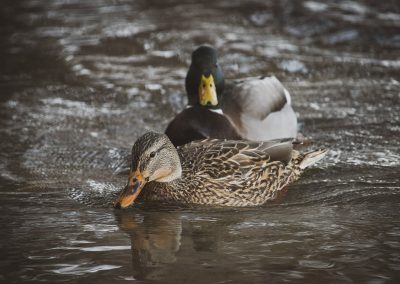 duck-pair-web