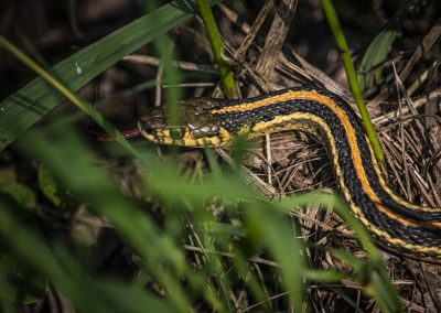 garter-snake-tongue-web
