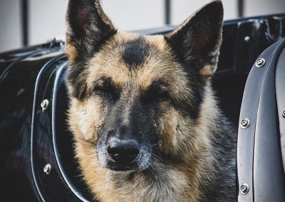 german-sheppard-web