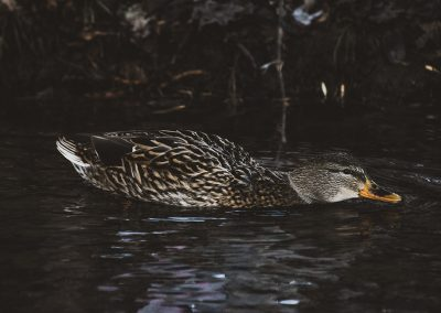 mallard-hen-low-web