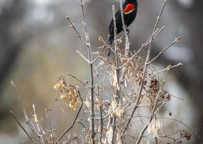 red-winged-blackbird-web