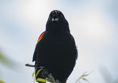 redwing-blackbird-img2-web