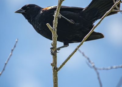 redwing-blackbird-img3-web