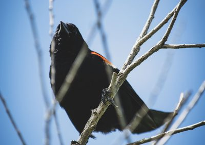 redwing-blackbird-web