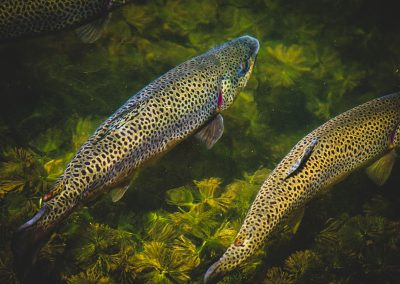trout-img2-web