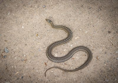 wandering-garter-snake-web