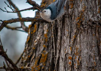 white-breasted-nuthatch-web