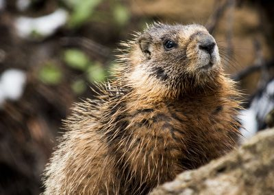 yellow-bellied-marmot-img2-web