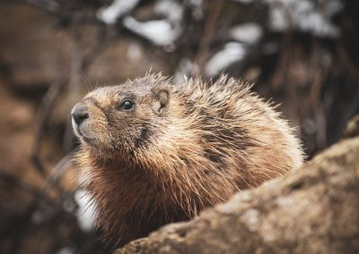 yellow-bellied-marmot-web