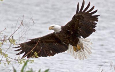Bald Eagle on the Prowl