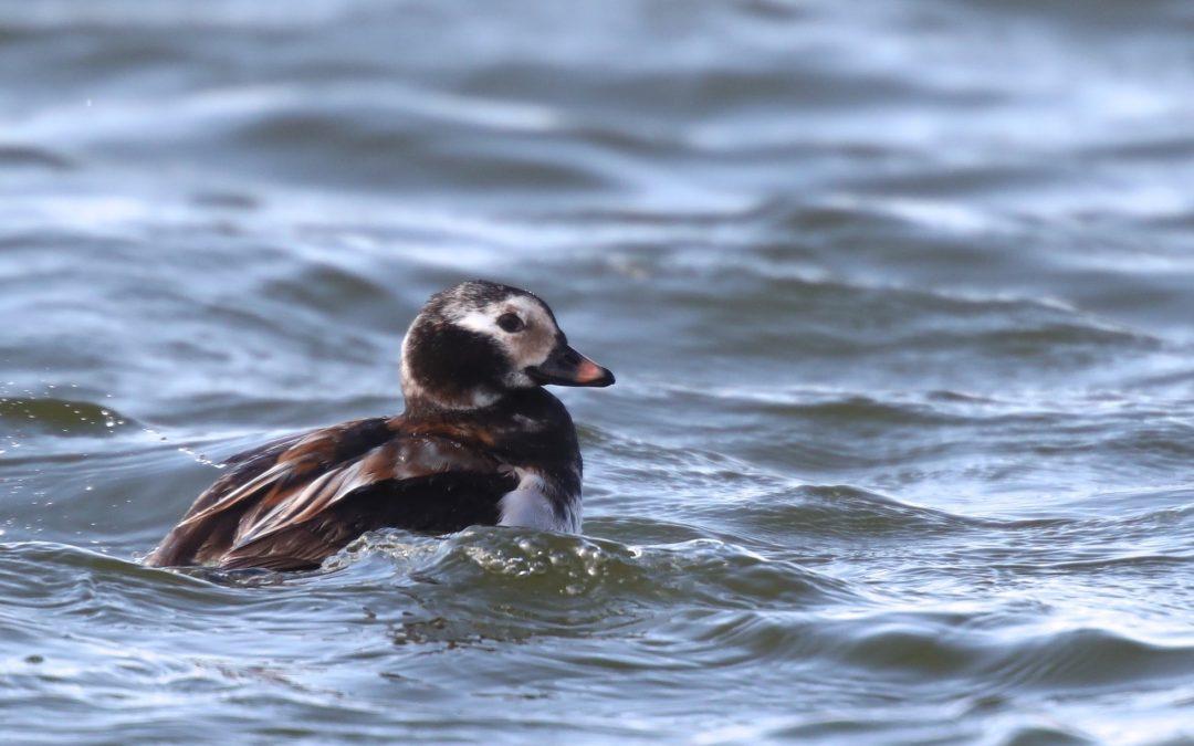 Sea Ducks
