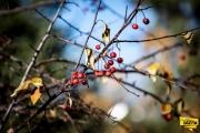 berries-img1