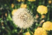 blooming-dandilion-closeup