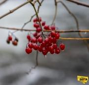 cherry-berries