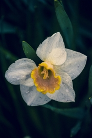 daffodils-close-up