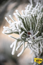 frosted-pine