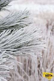 frosted-pine2