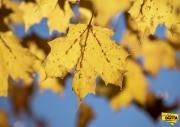 gold-leaf-img1