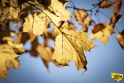 gold-leaf-img2