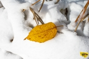 leaf-on-snow