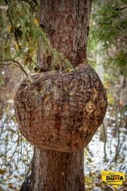 pine-tree-growth