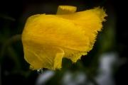 tulip-img1