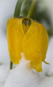 tulip-img2