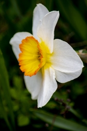 white-yellow-tulip