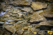 Brook Trout in Squaw Creek