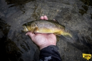 Brown Trout caught fly fishing