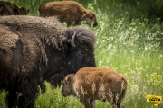 Bison mom and baby