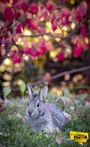 Cottontail Glamour Shot