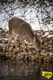 Whitetail by stream