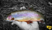 Rainbow Trout caught fly fishing